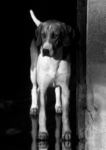 Expectant Hound